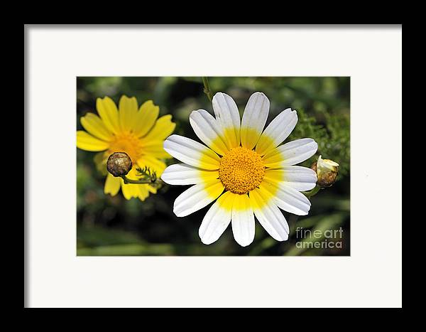 Chrysanthemum Coronarium; Glebionis Coronaria; Crown Daisy; Daisy; Daisies; White; Yellow; Flower; Wild; Plant; Spring; Print; Photograph; Photography; Springtime; Season; Nature; Natural; Natural Environment; Natural World; Flora; Bloom; Blooming; Blossom; Blossoming; Color; Colour; Colorful; Colourful; Earth; Environment; Ecological; Ecology; Country; Landscape; Countryside; Scenery; Macro; Close-up; Detail; Details; Esthetic; Esthetics; Artistic; Flowers Framed Print featuring the photograph Crown Daisy Flower by George Atsametakis