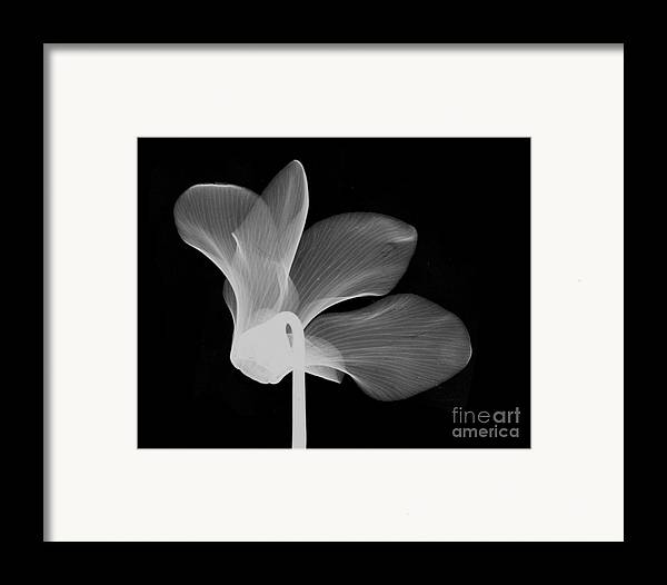 Nature Framed Print featuring the photograph Cyclamen Flower X-ray by Bert Myers