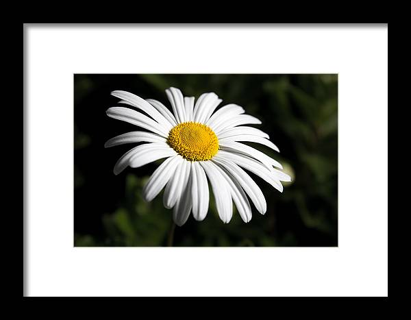Flower Framed Print featuring the photograph Daisy In The Garden by Ron Pate