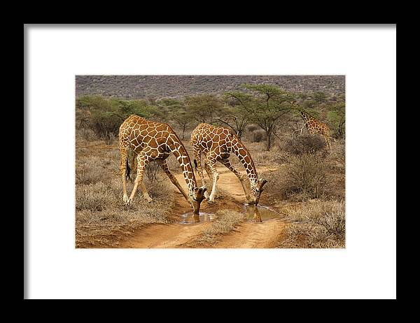 Africa Framed Print featuring the photograph Drinking in Tandem by Michele Burgess