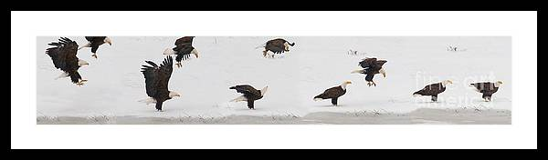 Haliaeetus Leucocephalus Framed Print featuring the photograph Dropping From The Sky by J L Woody Wooden