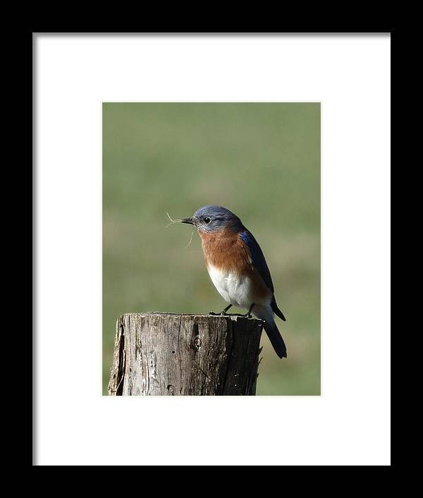 Bluebird Framed Print featuring the photograph Eastern Bluebird by Rebecca Overton