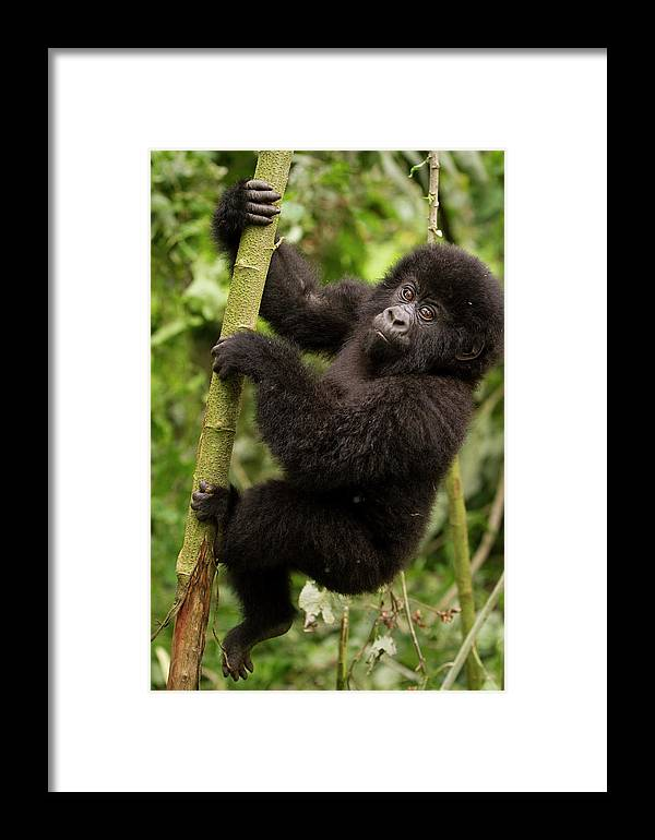 Branch Framed Print featuring the photograph Endangered Mountain Gorillas Habitate by Carl D. Walsh