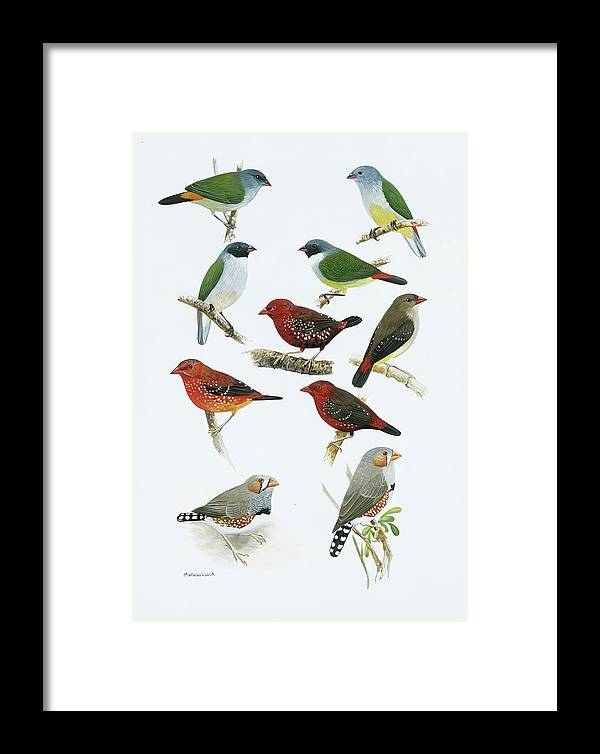 Artwork Framed Print featuring the photograph Estrildid Finches by Natural History Museum, London/science Photo Library
