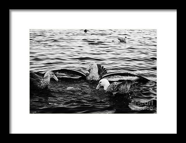 Flock Framed Print featuring the photograph flock of southern giant petrels one showing sealmaster agressive feeding posture in port lockroy Ant by Joe Fox