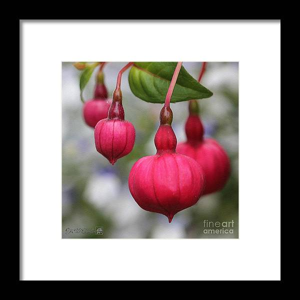 Mccombie Framed Print featuring the painting Fuchsia Named Dark Eyes by J McCombie