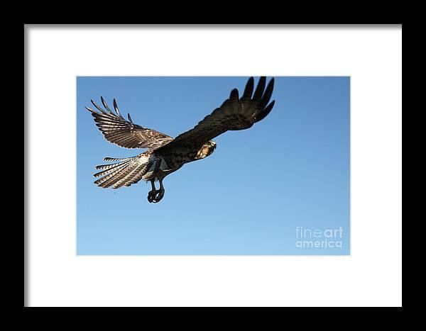 Galapagos Framed Print featuring the photograph Galapagos Hawk by Fabian Romero Davila