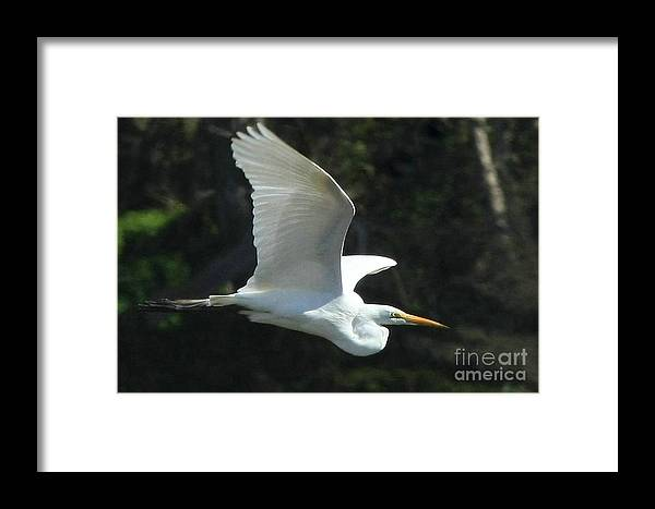 Great Egret Framed Print featuring the photograph Great Egret by Frank Townsley