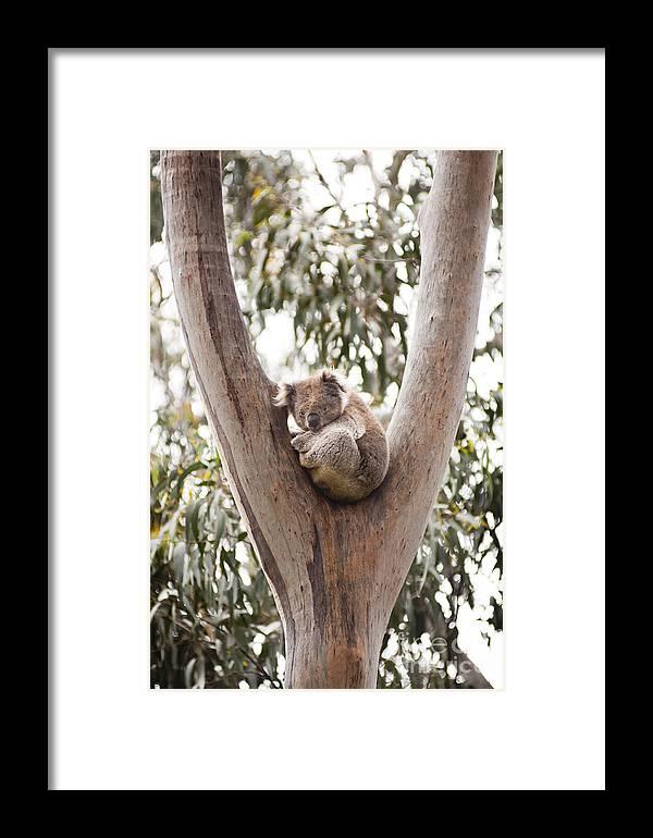 Australia Framed Print featuring the photograph Koala by Tim Hester