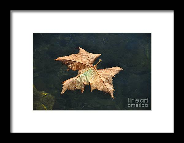 Maple Framed Print featuring the photograph Maple Leaf by Mats Silvan