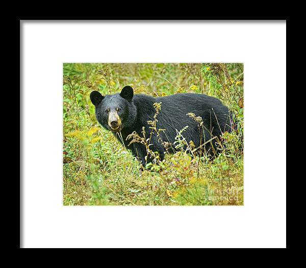 Bear Framed Print featuring the photograph Meadow Black Bear by Timothy Flanigan