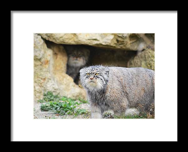 Pallas Cat Framed Print featuring the photograph Pallas Cat by Alex Lyons