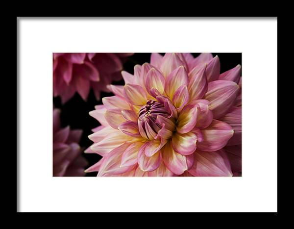 Dahlia Framed Print featuring the photograph Pink Dahlia by Sally Bauer