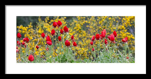 Poppies Framed Print featuring the photograph Red On Yellow by Uri Baruch