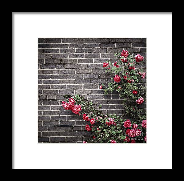 Rose Framed Print featuring the photograph Roses On Brick Wall by Elena Elisseeva