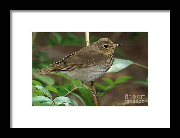 Animal Framed Print featuring the photograph Swainsons Thrush by Anthony Mercieca