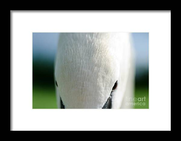 Swan Framed Print featuring the photograph Swan by Mats Silvan