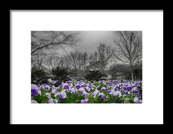 Pansy Framed Print featuring the photograph The Color Purple by Douglas Barnard