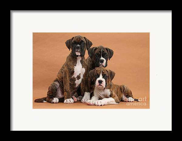 Nature Framed Print featuring the photograph Three Boxer Puppies by Mark Taylor