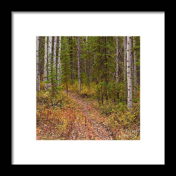 Populus Framed Print featuring the photograph Trail In Golden Aspen Forest by Stephan Pietzko