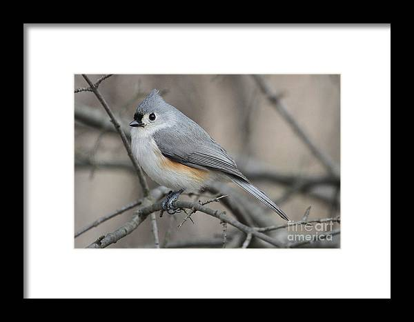Grey Framed Print featuring the photograph Tufted Titmouse by Ken Keener