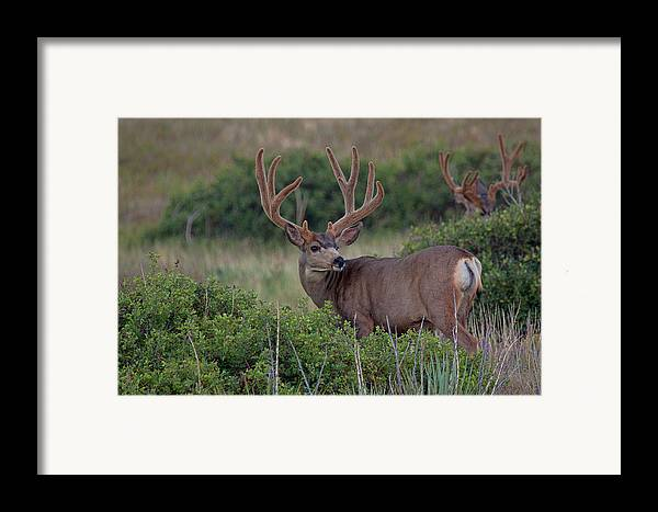 Mule Deer Herd Photograph Framed Print featuring the photograph Two In The Bush by Jim Garrison