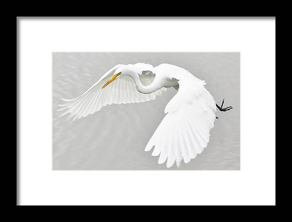 Great White Egret Framed Print featuring the photograph What A Beauty by Paulette Thomas