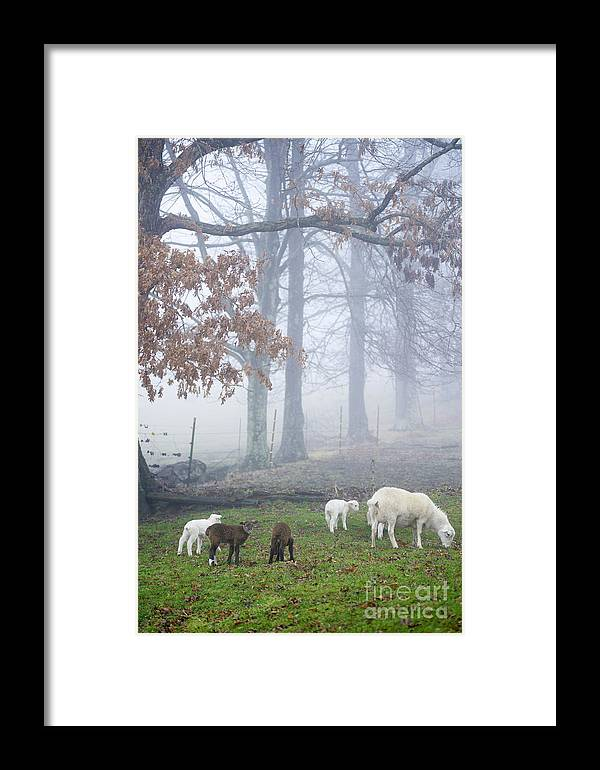 Lamb Framed Print featuring the photograph Winter Lambs Foggy Day by Thomas R Fletcher