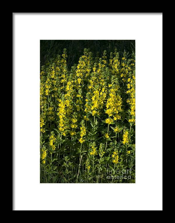Flora Framed Print featuring the photograph Yellow Flowers by Sarka Olehlova