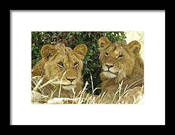 Lion Framed Print featuring the photograph Young Brothers by Michele Burgess
