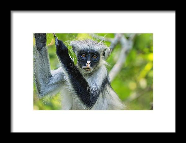 Thomas Marent Framed Print featuring the photograph Zanzibar Red Colobus In Tree Jozani by Thomas Marent