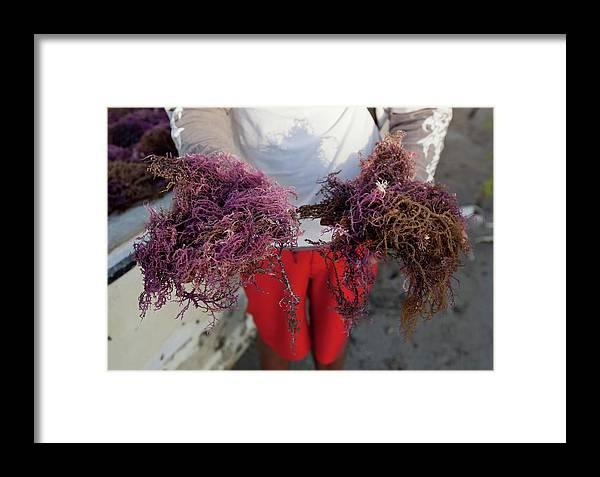 Agar Framed Print featuring the photograph 2015 Agar Seaweed Algae Coastal Farming by Paul D Stewart