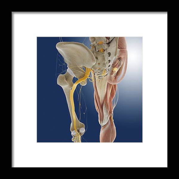 Lower Body Anatomy Artwork Framed Print By Science Photo Library