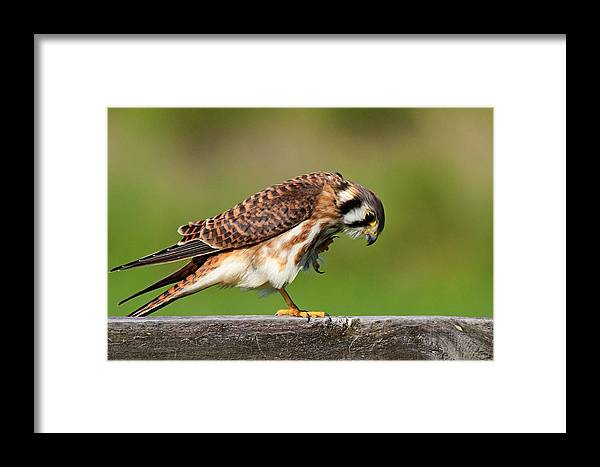 Falcon Framed Print featuring the photograph American Kestrel by Ira Runyan