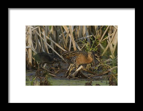 Chick Framed Print featuring the photograph King Rails In A Wetland by Mark Wallner
