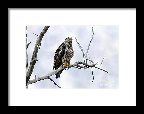 Eagle Framed Print featuring the photograph Bald Eagle by Lori Tordsen