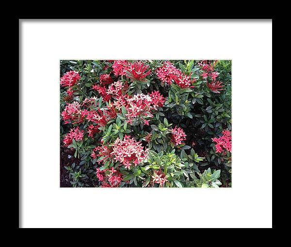 Red Framed Print featuring the photograph Antigua Flowers by Ron Torborg