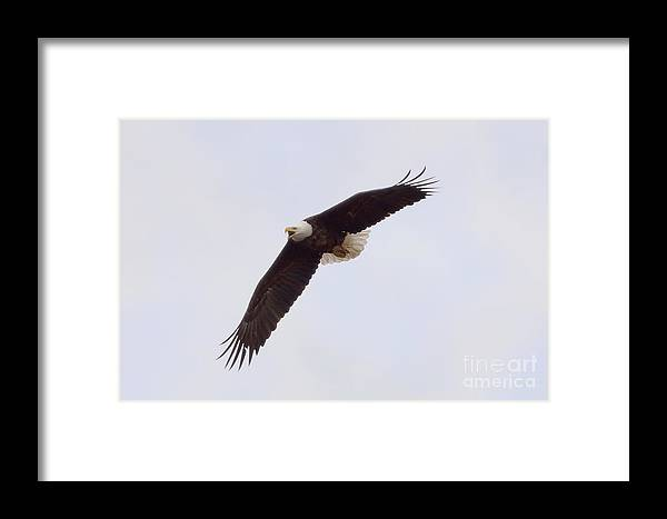 Eagle Framed Print featuring the photograph Bald Eagle Soaring by Lori Tordsen