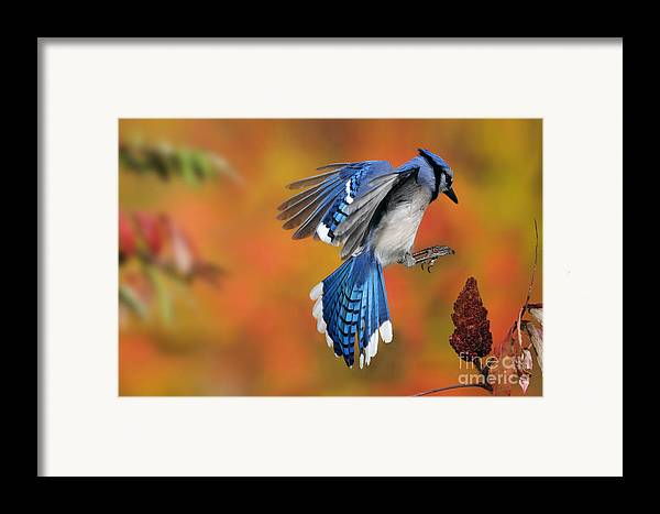 Blue Jay Framed Print featuring the photograph Blue Jay by Scott Linstead