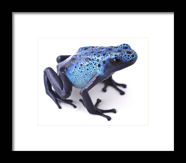 Frog Framed Print featuring the photograph Blue Poison Dart Frog by Dirk Ercken