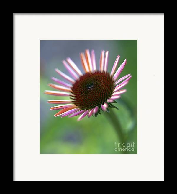 Genus Echinacea Framed Print featuring the photograph Coneflower by Tony Cordoza