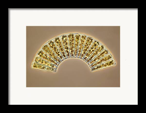 Meridion Circulare Framed Print featuring the photograph Diatoms, Light Micrograph by Science Photo Library