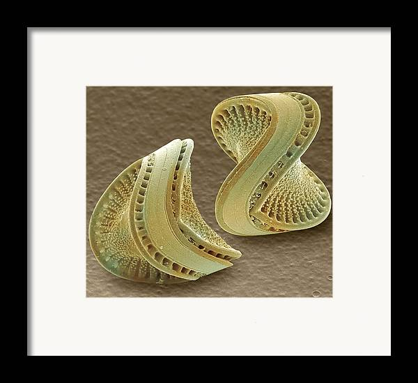 Diatom Framed Print featuring the photograph Diatoms, Sem by Power And Syred