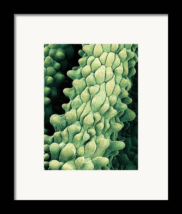 Flower Framed Print featuring the photograph Flower Pistils, Sem by Science Photo Library