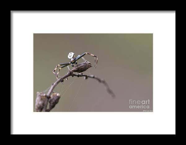 Bulgaria Framed Print featuring the photograph Goldenrod Crab Spider Male by Jivko Nakev