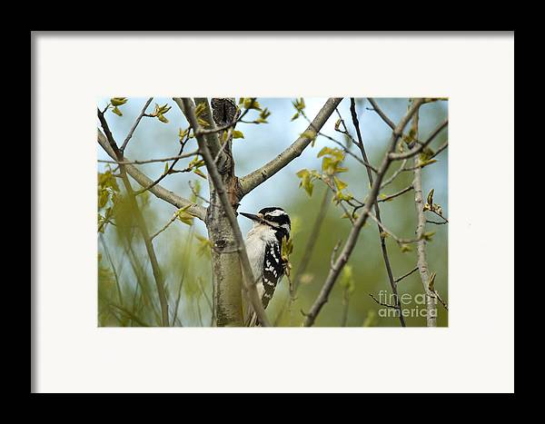 Animal Framed Print featuring the photograph Hairy Woodpecker by Linda Freshwaters Arndt
