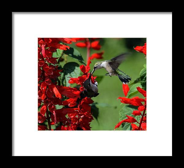 Avian Framed Print featuring the photograph Hummingbird by David Lester