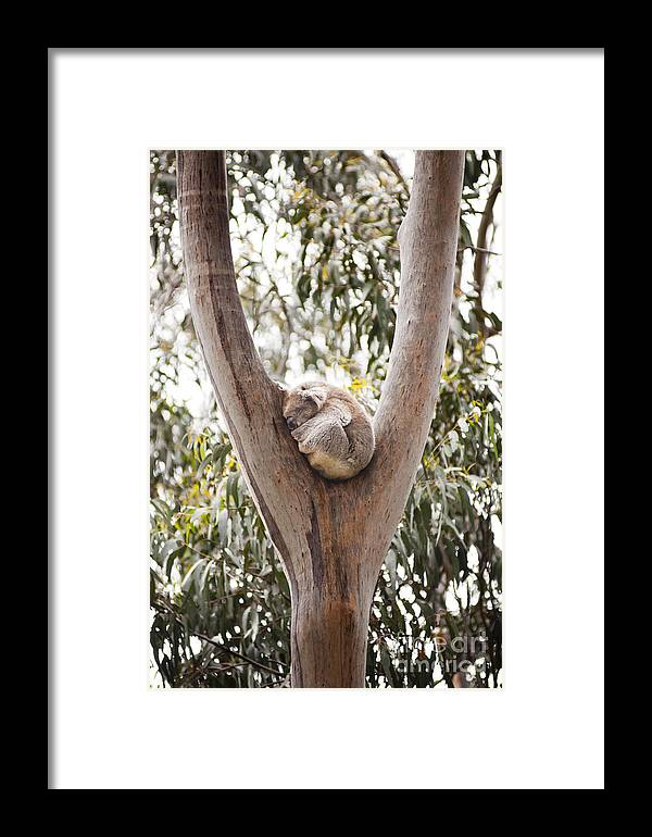 Australia Framed Print featuring the photograph Koala by Tim Hester