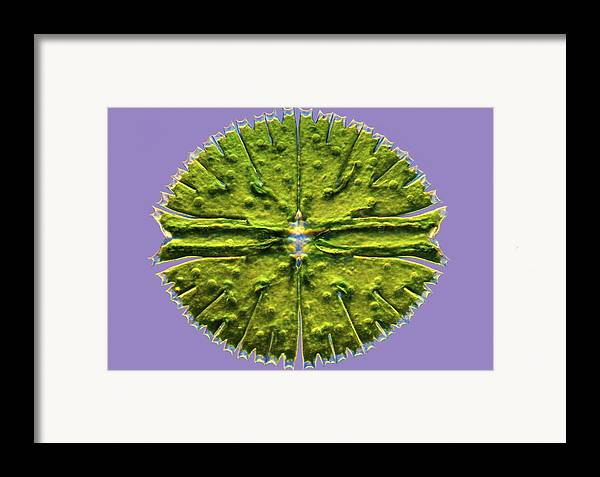 Algae Framed Print featuring the photograph Micrasterias Desmid, Light Micrograph by Science Photo Library