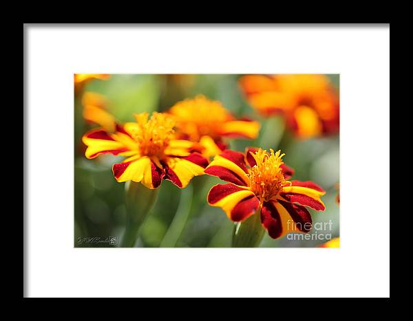 Mccombie Framed Print featuring the photograph Novelty French Marigold Named Mr. Majestic by J McCombie